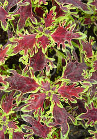 Coleus Solenostemon Ruby Jewels